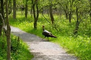 Strutting across the path