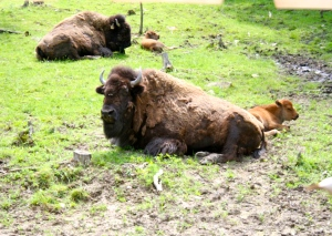 Bison mamma and calf